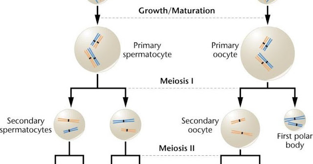 Know Spermatogenesis And Oogenesis