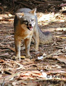 The problem of invasive rodents in santa catalina island and santa cruz island