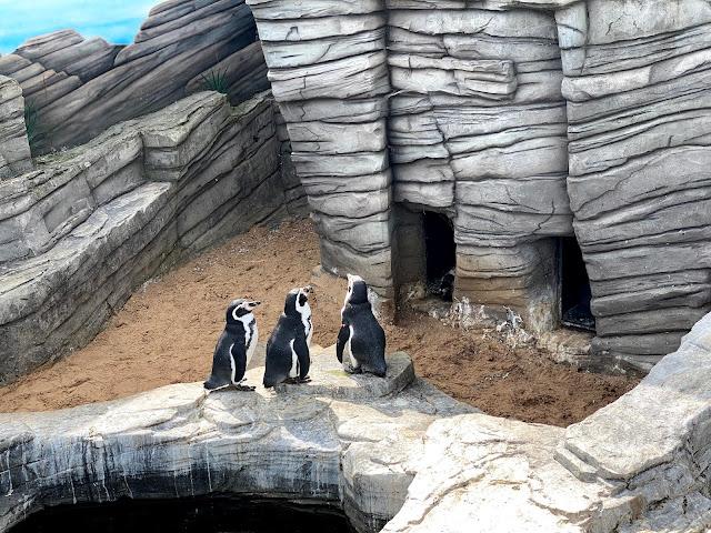 3 humboldt penguins