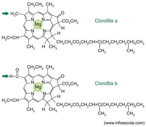 Analise as estruturas das clorofilas a e b