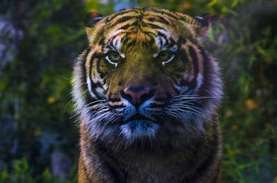Anak Harimau Sumatra yang tak pasti akan menjadi Harimau seutuhnya
