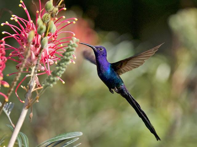 Burung kolibri Swallow-Tailed