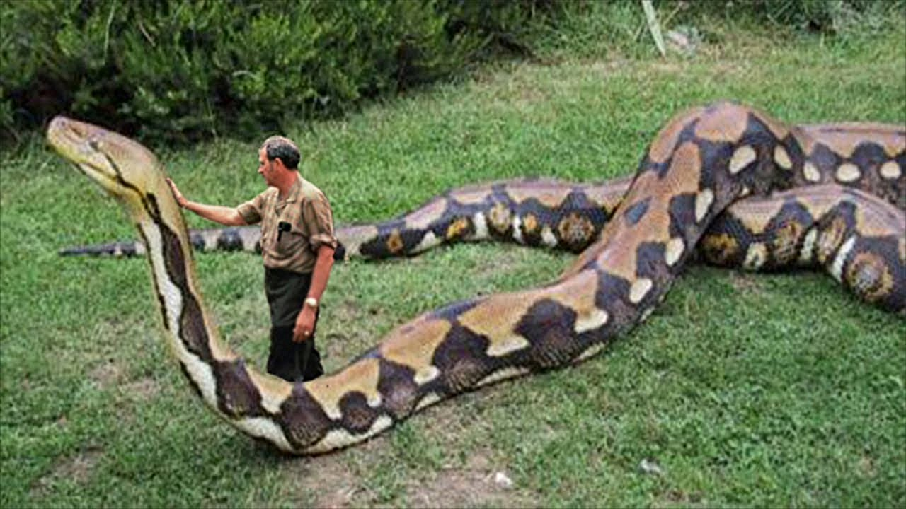 snake upskirt python