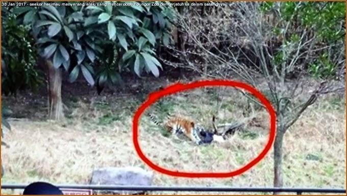 Harimau dibunuh kerana serang penceroboh sarangnya