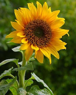 bunga-matahari-cepat-berbunga.jpg
