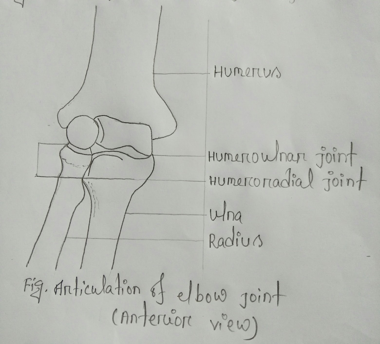 Medibarta Articular Surfaces Of Elbow Joint