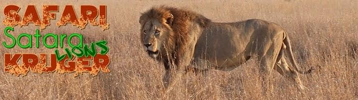 Leones de Satara. Safari por libre en Kruger