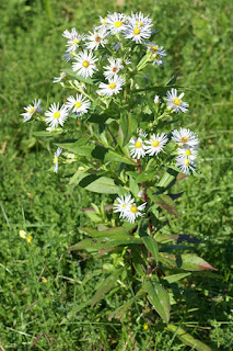 Aster ponceau - Symphyotrichum puniceum - Aster puniceus