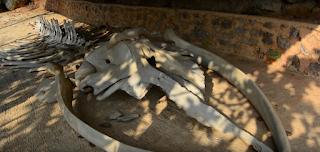 kerangka ikan karimunjawa