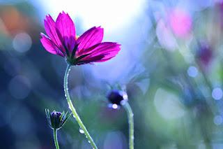 Cosmos Flower Bokeh Photography