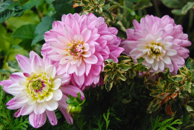 Pink Dahlias in the Front Walk Garden