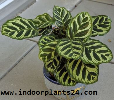 Calathea makoyana Marantaceae PEACOCK PLANT picture