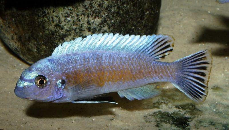 Gambar jenis jenis ikan cichlid ( Malawi Cichlids ) - Trewavas Red-Finned Cichlid ( Labeotropheus trewavasae )