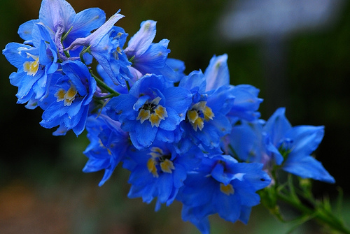 delphinium flower wallpaper