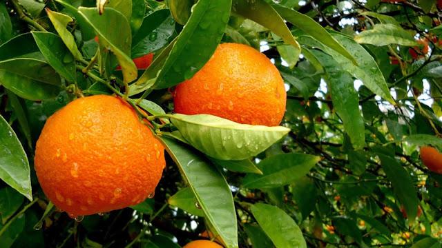 """Διπλωματική εργασία: """"Το πορτοκάλι στην Αργολίδα: κοινωνικοοικονομικές και πολιτισμικές προσεγγίσεις"""""""