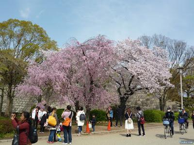 染井吉野と枝垂桜