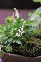 山野草盆栽の花材 ナチアワモリショウマ