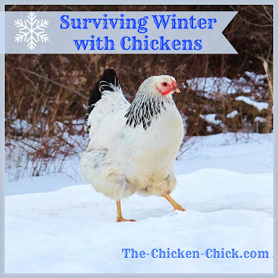 The thought of surviving winter with chickens doesn't have to send chills up your spine. There are really only two things that are critical to a backyard flock in cold temperatures: access to water and a dry coop.