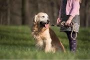 Comment travaillent les chiens d'aveugles