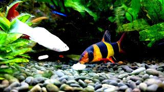 Clown Loach Community Aquarium Wallpaper
