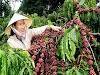 Gần cuối tháng 11: Giá cà phê tiếp tục giảm, giá tiêu ở mức thấp nhất còn 54.500 đồng/kg