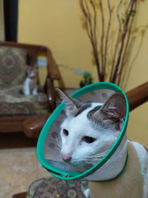 kucing setelah steril