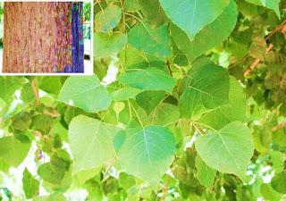 canadian-poplar-tree