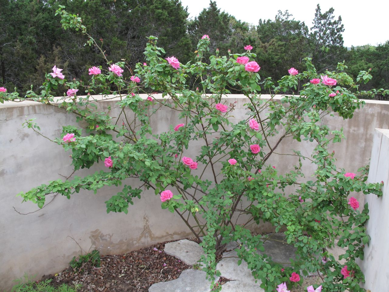 Love Garden Roses: ROCK ROSE: SWEET RELIEF