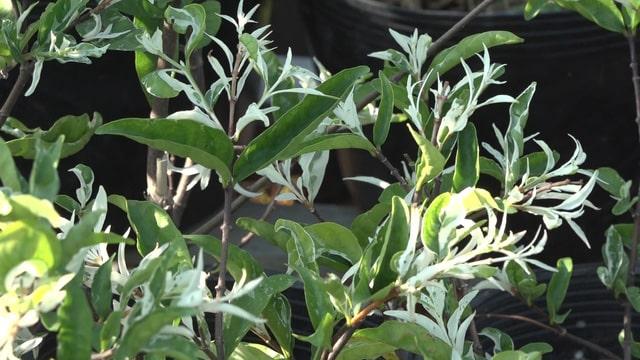 Cây Mai Cẩm Thạch tại Làng Hoa Sa Đéc
