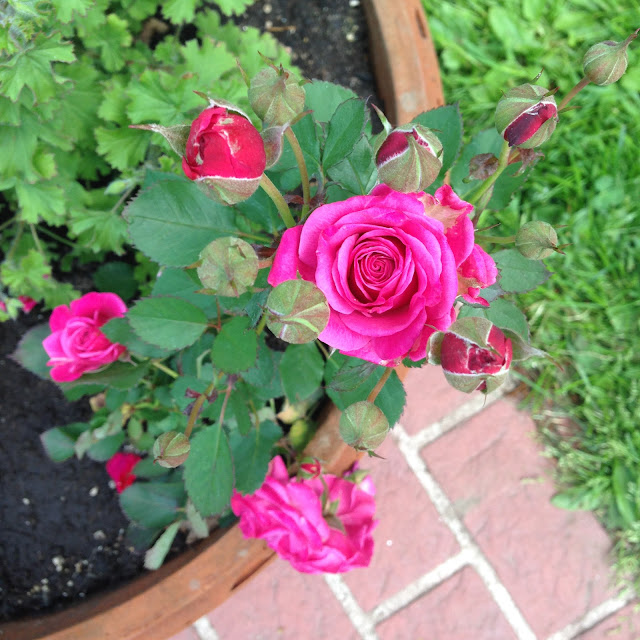 Miniature roses, roses, garden, container gardening, Tena Rose, Anne Butera, My Giant Strawberry