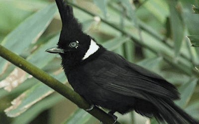 Download Bunyi Burung Cililin Mp3 Gacor Panjang Untuk Masteran