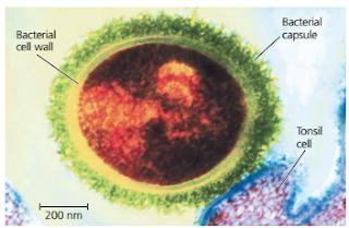 morfologi bakteri bentuk batang, morfologi bakteri bentuk kokus, morfologi bakteri bentuk spiral, DNA inti dan DNA plasmid bakteri, struktur Dinding sel bakteri, bakteri gram postif (+), bakteri gram negatif (-), ribosom dan sub unit ribosom, Struktur flagella bakteri gram positif dan bakteri gram negatif, Fimbriae Bakteri, fungsi pili pada bakteri, struktur kapsul pada bakteri, pengecatan gram, struktur endospora bakteri, Struktur fimbriae bakteri, struktur flagella bakteri gram positif (+) dan bakteri gram negatif (-)