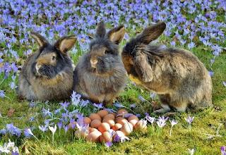 gambar bolehkan memelihara kelinci bersama dengan ayam