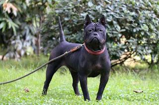 كلب تشونغتشينغ الصيني