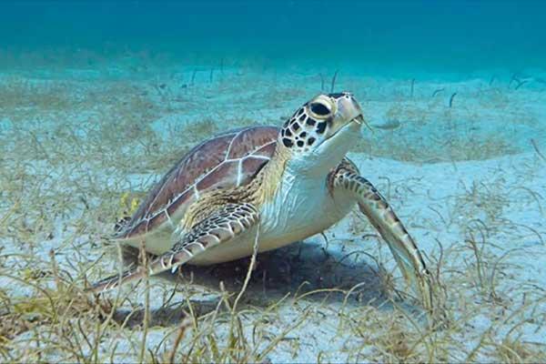 Temperaturas crescentes estão causando o nascimento de mais tartarugas marinhas