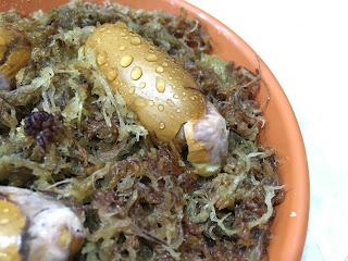 Bayou Durian Seed germinated