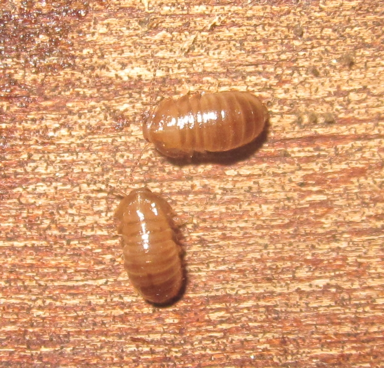 C.pygmaea%25232.JPG