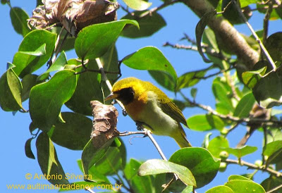 birds Guira Tanager