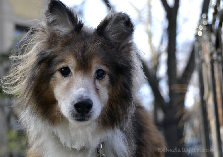 Lucky, the abandoned and abused sheltie, gets rescued and adopted
