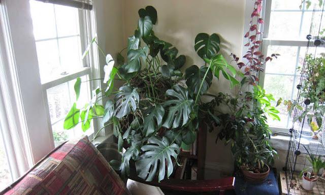Monstera deliciosa tanaman viral penghias ruangan