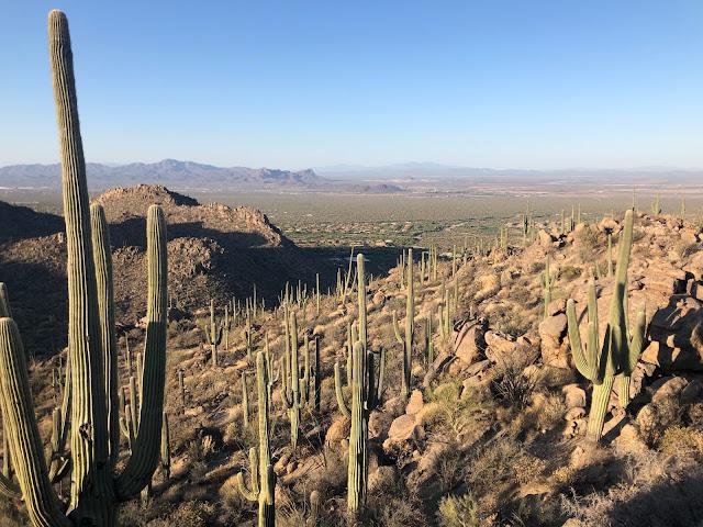 saguaro cacti on a mountain
