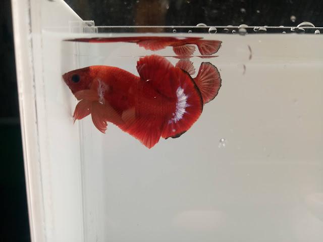 bettafish hellboy, cupang warna merah