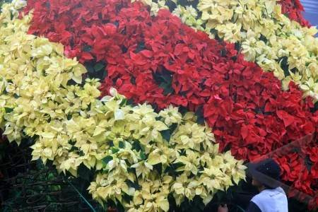 tanaman-bunga-kastuba