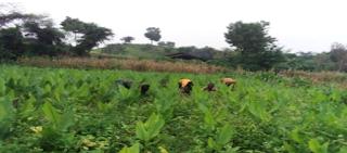 turmeric-change-farmer-life