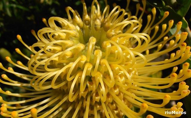 PROTEA AMARILLA Leucospermum cordifolium