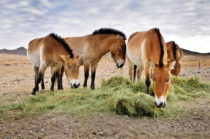 Horses In The Fall Wallpaper White Wolf The Wild Horses Of Mongolia Stunning