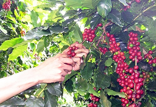 Giá cà phê hôm nay 13/8: Mức giá cao nhất theo khảo sát là 39.200 đồng/kg