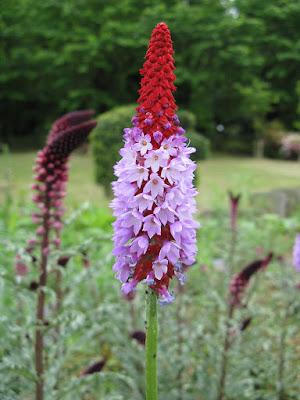 The Orchid primula - Primula vialii