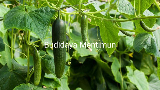 Budidaya mentimun