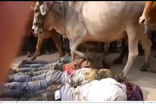 religious festivals of india trampled by cows
